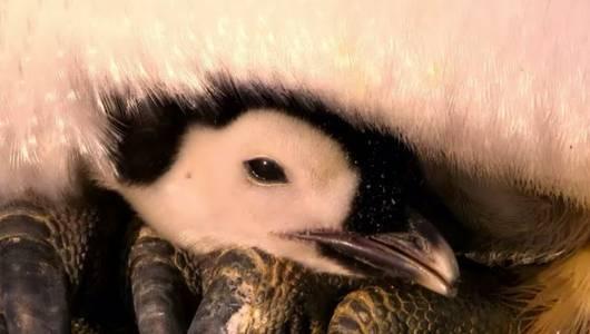 แกลอรีภาพ ล้วงลับชีวิตเพนกวิน ตอน ย่างก้าวแรก