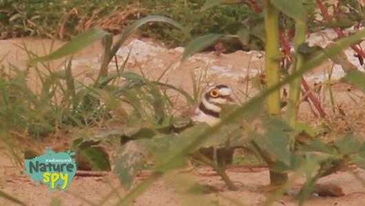 แกลอรีภาพ นกหัวโตเล็กขาเหลือง