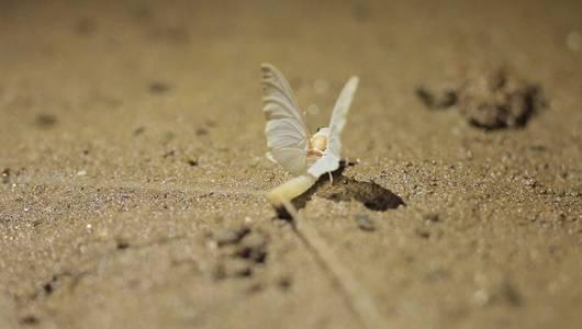 แกลอรีภาพ ฝูงแมลงชีปะขาวขุดโพรงแม่น้ำโขง