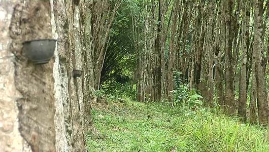 แกลอรีภาพ ชาวสวนยางกับแผนทวงคืนผืนป่า