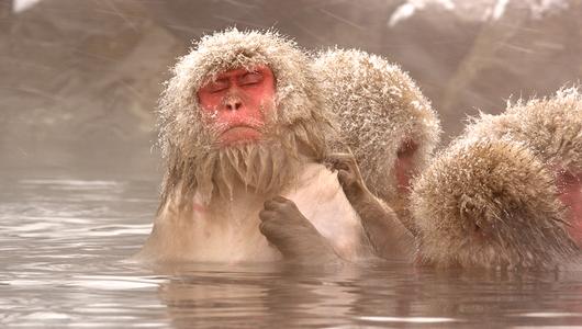 แกลอรีภาพ ลิงหิมะญี่ปุ่น