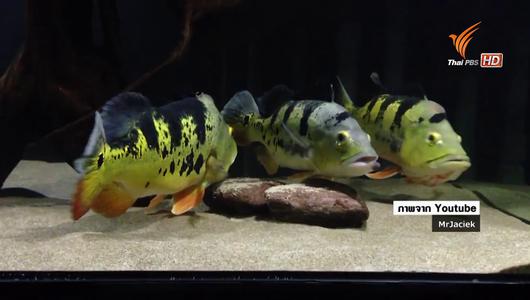 """แกลอรีภาพ ปลาเอเลี่ยนพันธุ์ """"Peacock Bass"""" ผลกระทบต่อระบบนิเวศ"""